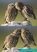 animal-owl-love1