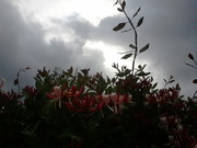 Chèvrefeuille rose d'Ecosse