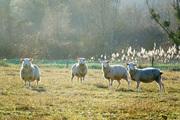 Moutons dans la lumière