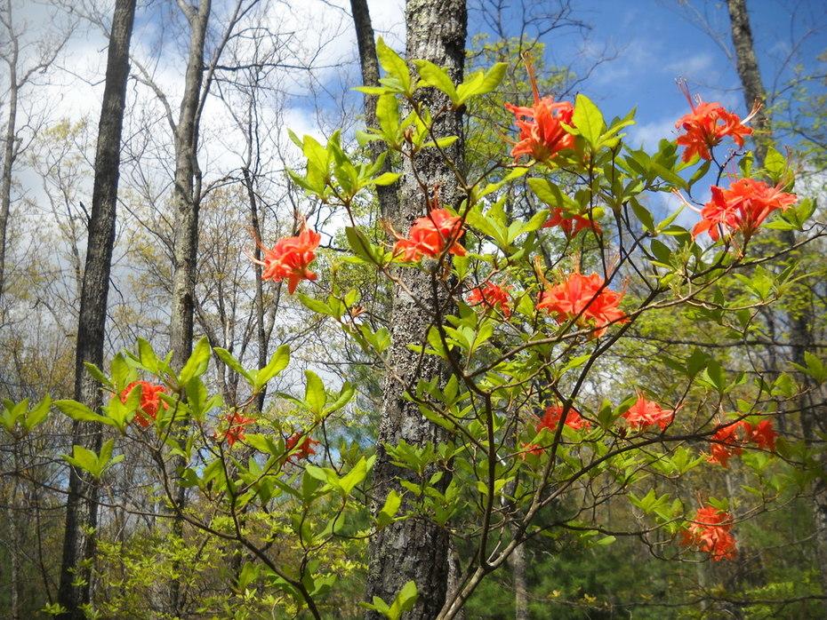 flame azaleas on hannah mountain trail