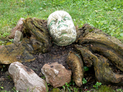 chipurile prind rădăcini...