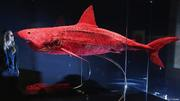 Preserved Vascular System of a Shark