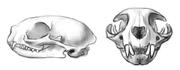 hus-katter kranium
