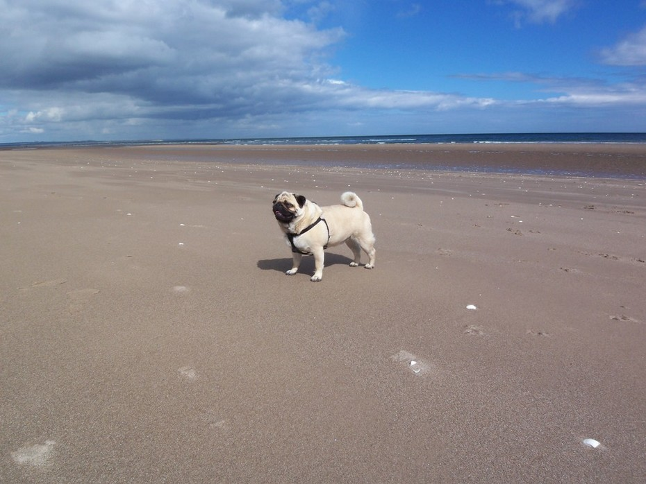 Hektor on the Beach at Tentsmuir Forrest Park