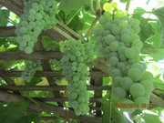 Your white grapes, Berns.