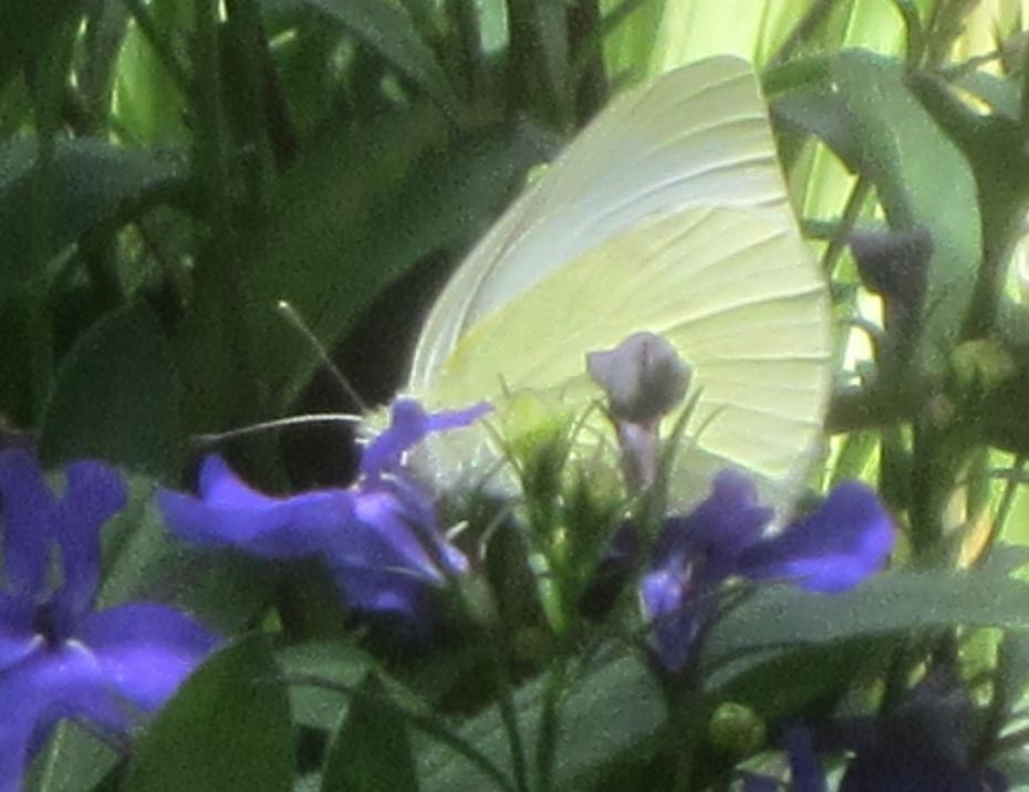 White butterfly in blue Lobelias