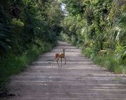 Young Deer on Janes Scenic Drive, Fakahatchee Strand