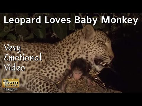 Leopard saves baby monkey