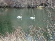 swan pair