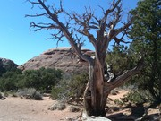Twisted pine at Arches N.P.