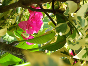 African pink flower(Nature6573)