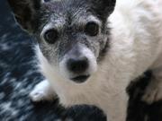 Iida Juck Russel terrier