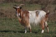"""Balkan Goat """"Rogusha"""""""