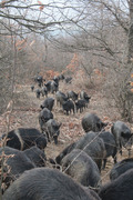East-Balkan herd in the autumn