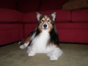 For the Love of Shelties