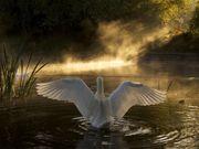 Cisnes no Rio Avon, Bristol, Inglaterra.