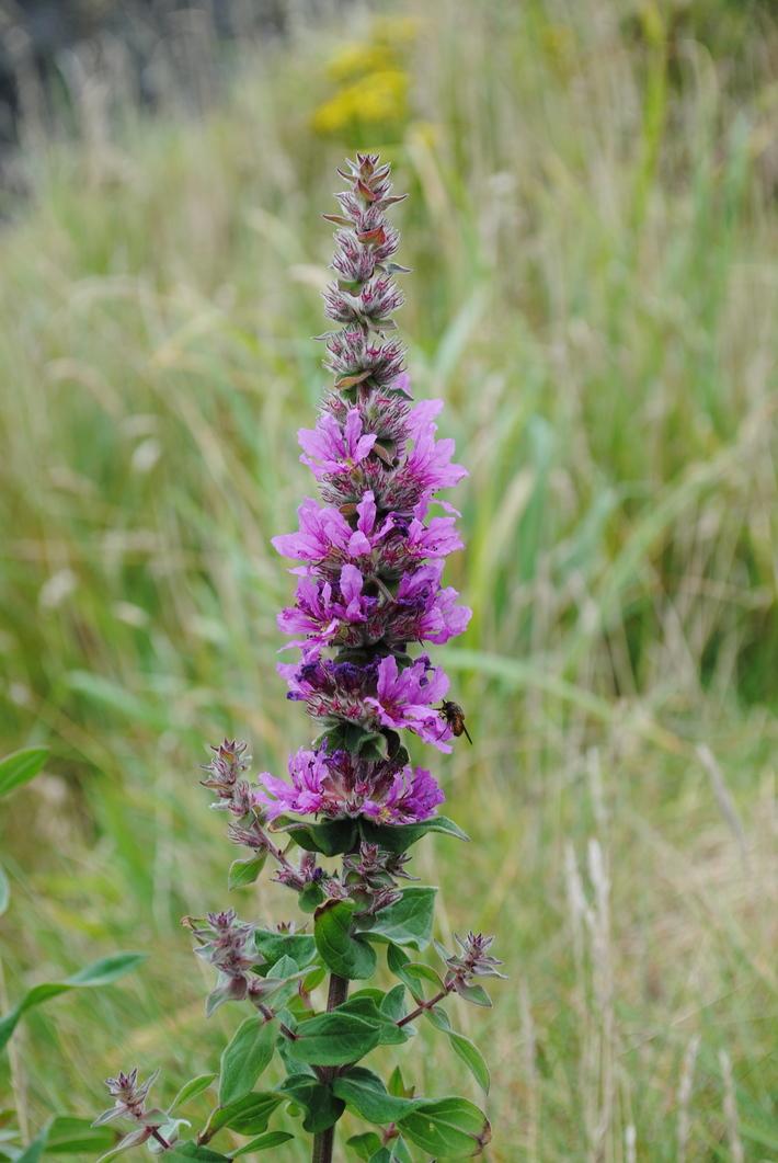 Ballybunion Flora