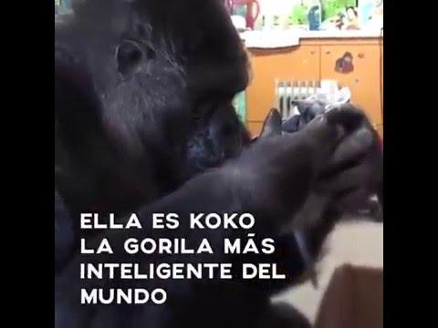 El mensaje de Koko para  el mundo