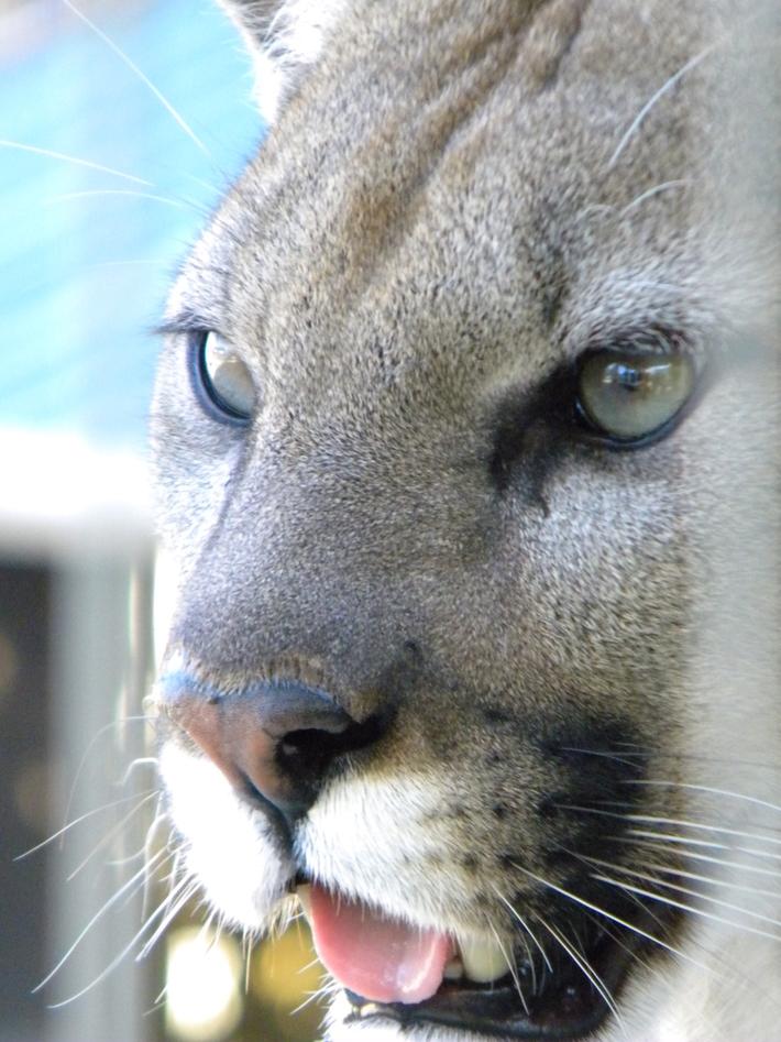 ICC Meet & Greet at Cougar Mountain Zoo