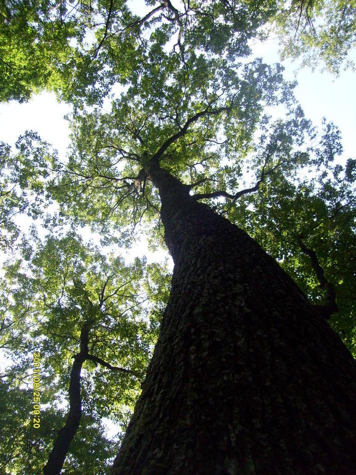 "Quercus petrea in National Park ""Fruska Gora"" - Serbia (in summer)"