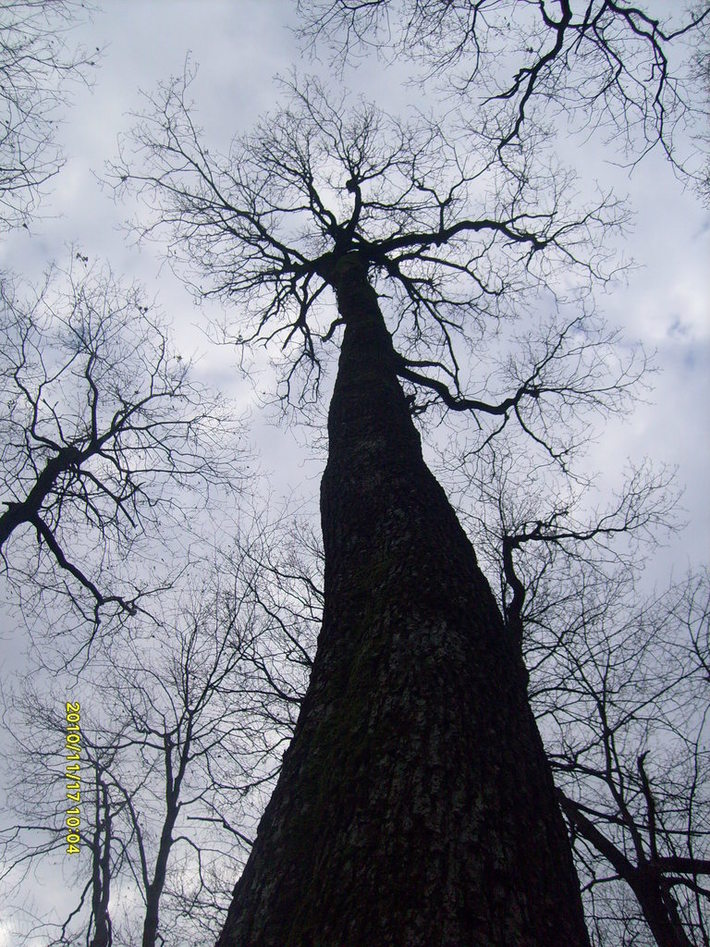 "Quercus petrea in National park ""Fruska Gora"" - Serbia (in autumn)"