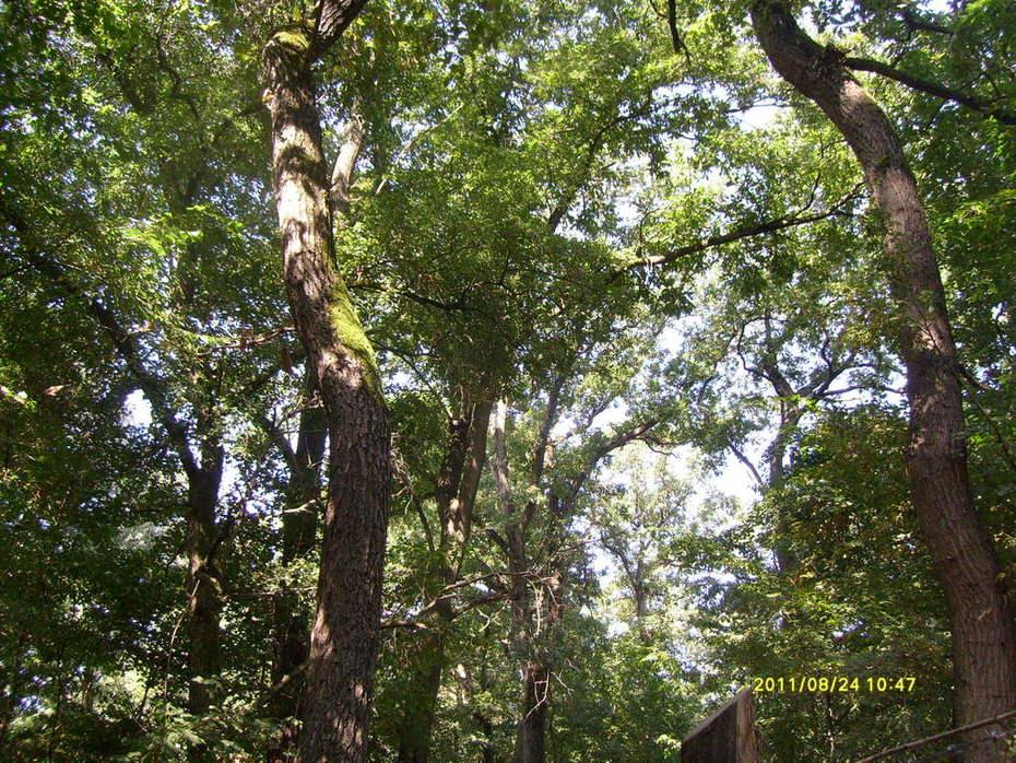 Quercus robur in Odzaci - Serbia (in summer)