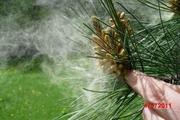 Pollen shed in Pinus eldarica
