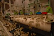 Laurus nobilis production