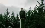 503_Bald_eagle_in_snow_3