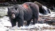 503_Black_bear_face