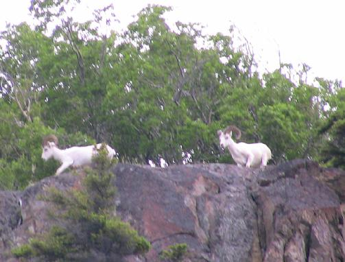 503_Dall_Sheep_2