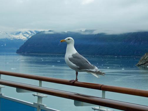 503_Gull_at_Glacier_Bay