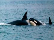 503_Juneau_Orcas
