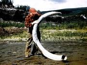 Mastodon tusk