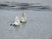 Trumpeters Bottoms up