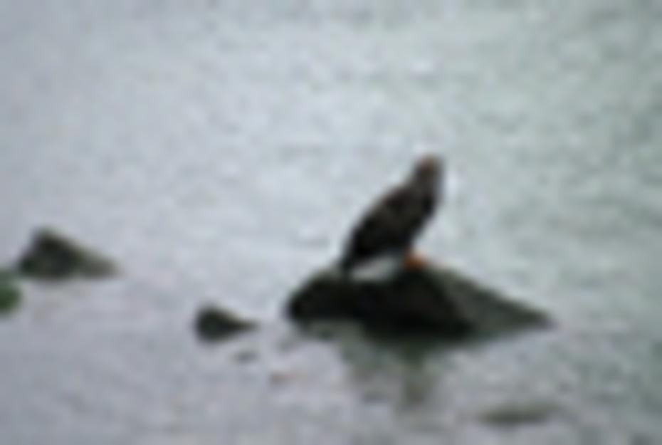 Eagle on river rock