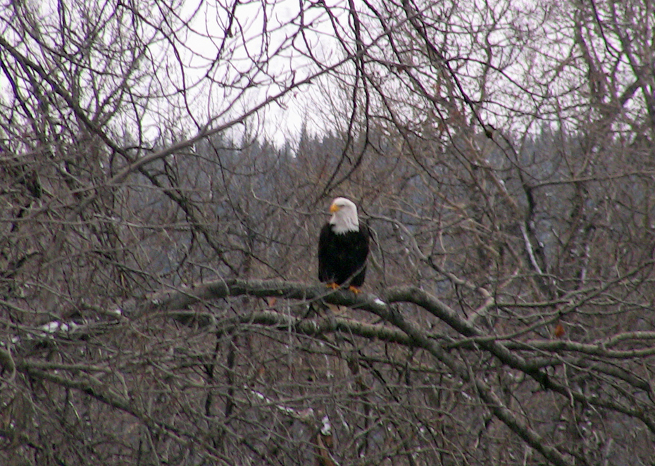 Eagle in branches