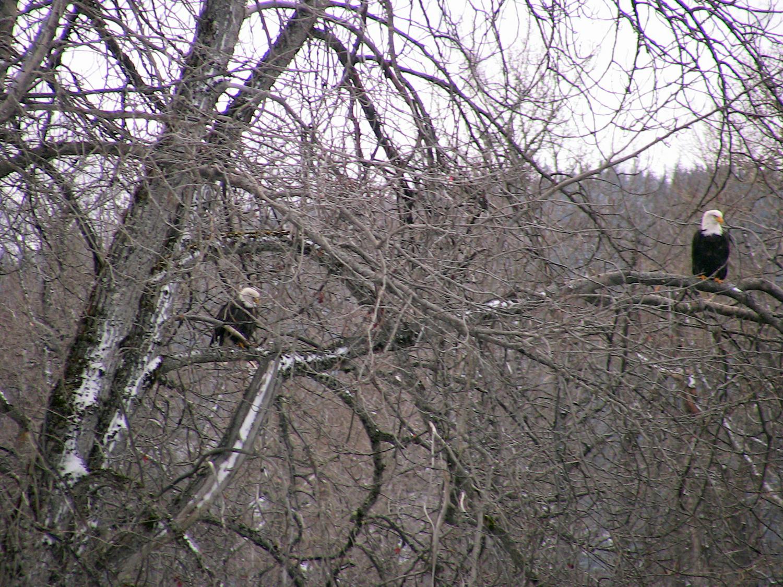 Eagles  in snowy tree