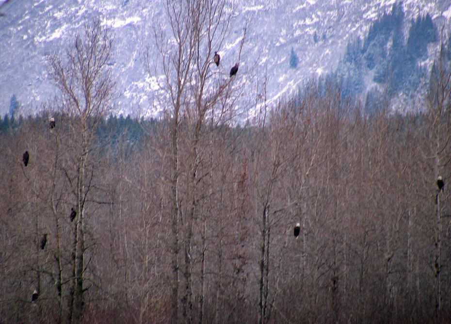 Many eagles in the trees