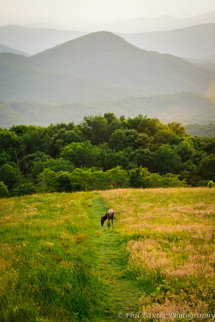 Elk Grazing Near Max Patch Summit 6-21-19