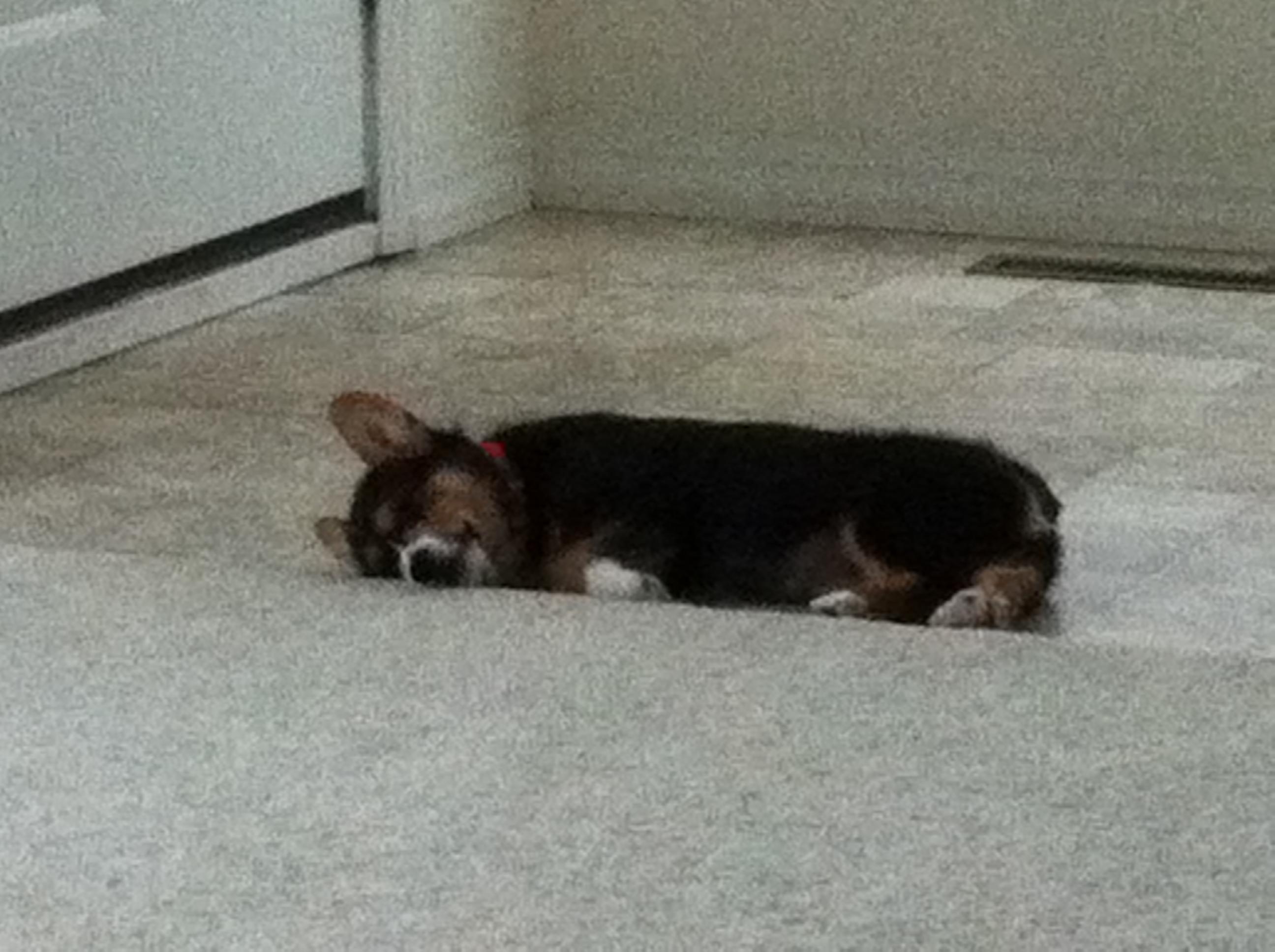 A long walk = an exhausted Corgi puppy.....