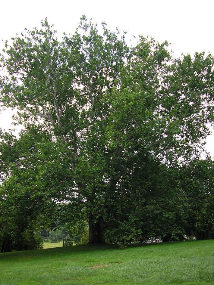 BrandyWine Battlefield Tree 02