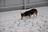 Alaskan Corgis
