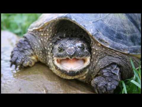 Big Ole Snappin' Turtle