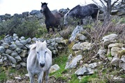 Our Connemara Ponies