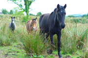 Forgotten Horses Ireland 37