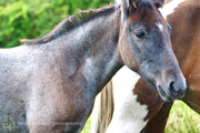 Forgotten Horses Ireland 39