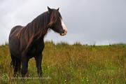 Forgotten Horses Ireland 44