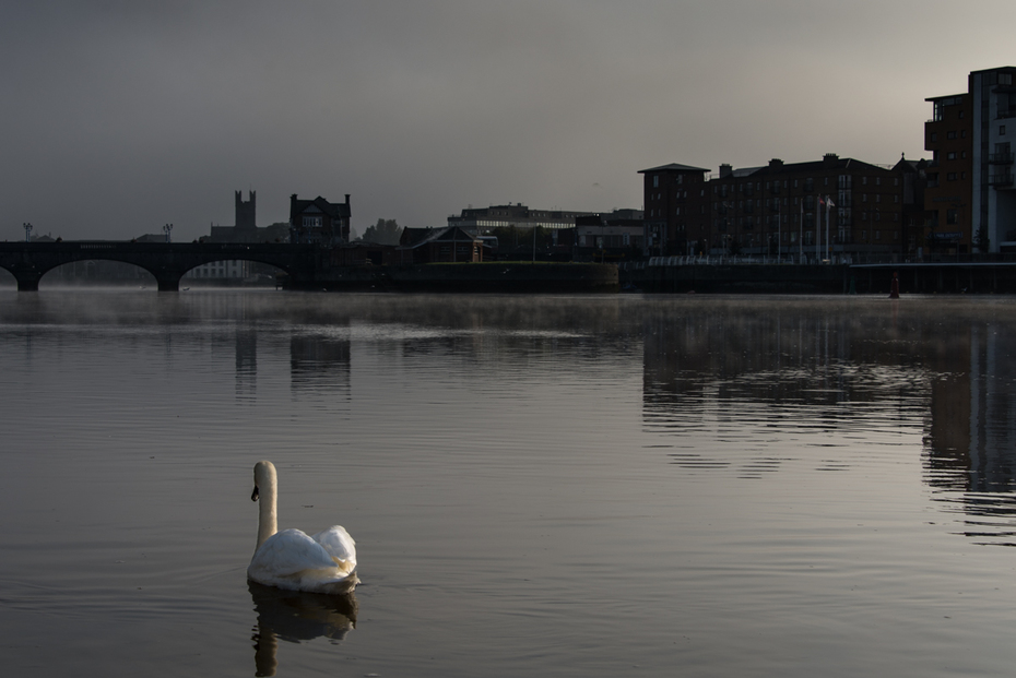 Swan on the Shannon