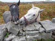 Horses Aran Islands